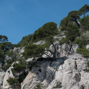 pins poussant à même la pierre