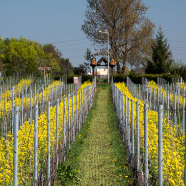 villages, bretzels et vignes : l'Alsace au printemps